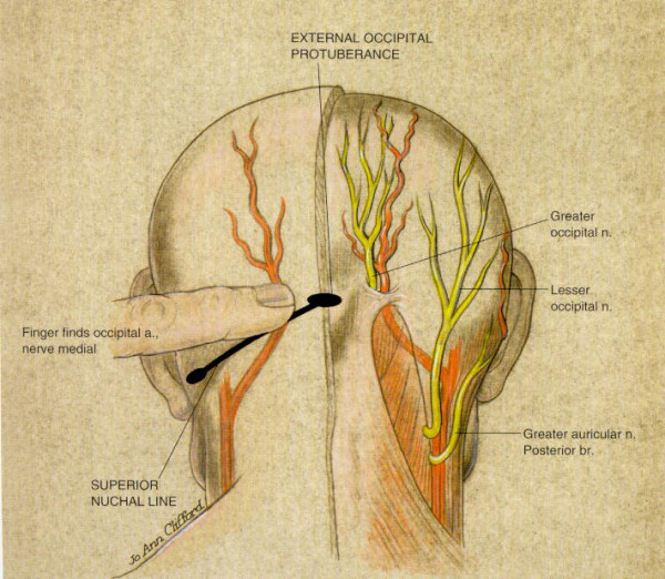 Head and Neck Muscles Archives  The Wellness Digest
